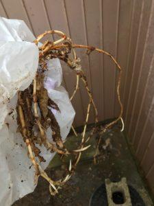 富里市H様宅除去した木の根